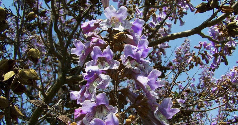 Emperor Flowering Tree